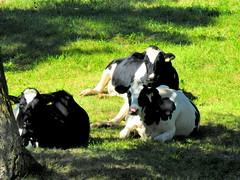 Holsteinrinder