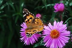 Flowers (yvon Merlier) Tags: flowers blue sunset sea sky love nature water landscape butterflies soe platinumphoto