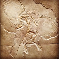 Day 20 - Archaeopteryx (akhenatenator) Tags: fossil worth1000