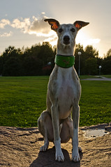(markiisi) Tags: dog pose whippet matti counterlight