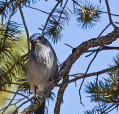 Western Scrub-Jay (Aphelocoma californica) (Douglas Caldwell) Tags: arizona grandcanyon westernscrubjay aphelocomacalifornica mygearandme mygearandmepremium mygearandmebronze mygearandmesilver mygearandmegold