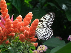 Don't disturb the white monarch (PanilBrune) Tags: flower fleur butterfly flora papillon monarch monarque wonderer