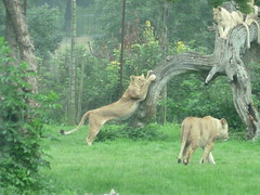 """Longleat Safari Park • <a style=""""font-size:0.8em;"""" href=""""http://www.flickr.com/photos/81195048@N05/8017625095/"""" target=""""_blank"""">View on Flickr</a>"""