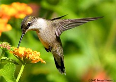 Ruby-throated Hummingbird Female / Lantana - Bayou Courtableau, Louisiana (Image Hunter 1) Tags: pink red orange plant flower green nature leaves birds yellow female flying leaf wings louisiana purple feeding bokeh eating flight feathers lavender bayou swamp greenery marsh bud lantana wingspan stalk rubythroatedhummingbird wingspread canoneos7d birdslouisiana bayoucourtableau hennysanimals