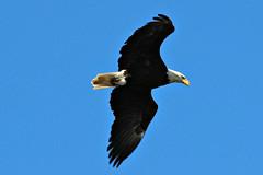 Free Bird (Laura Rowan) Tags: bird canon rebel eagle birding baldeagle raptor necedah necedahwildliferefuge