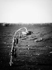 Alone (gfpeck) Tags: white black alone sad sunflower isolation activeassignmentweekly bestofweek1 bestofweek2 bestofweek3 bestofweek4