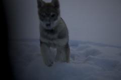 aged 8 weeks (Timoleon Vieta II) Tags: snow wolf little diary timoleon