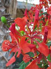 Royal Poinciana Tree (andbog) Tags: méxico canon mexico flora powershot bajacalifornia bajacaliforniasur seaofcortez messico compactcamera g12 cabopulmo mardecortes canong12