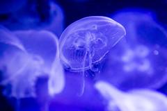 Moon Jelly (Ryan Grove) Tags: oregon aquarium jellyfish unitedstates newport oregoncoastaquarium moonjelly aureliaaurita