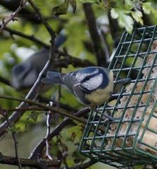 Blue Tit (Rovers number 9) Tags: uk autumn tree bird nature birds minolta bokeh wildlife sony lancashire september 2012 a65 minoltaaf100200f45 bkhq sept2012 sonya65