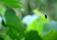 pkhl / spider web (debreczeniemoke) Tags: summer green spiderweb spidersilk zld nyr pkhl canonpowershotsx20is pkselyem