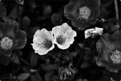 Monochrome || Different (HaRsH- beyond the lens On || OFF) Tags: bw flower monochrome dark experiments flickr different getty gettyimages flowerpicturesnolimits canoneosdigitalrebelxsi thedangs gettycontributor harshphotography