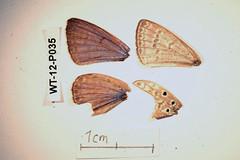 WT-12-P035 Lepidochrysops cf. neonegus borealis (lepdatabase) Tags: kenya borealis lycaenidae polyommatinae polyommatini lepidochrysops cfneonegus