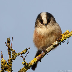 Badger bird (izzy's-photos) Tags: berries hawthorn longtailedtit llanilar longtailtit specanimal blinkagain
