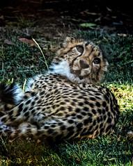 Cheetah enjoying the morning sun at Wildlife Safari near Winston, Oregon (mharrsch) Tags: africa oregon speed cat feline cheetah spotted predator winston wildlifesafari mharrsch