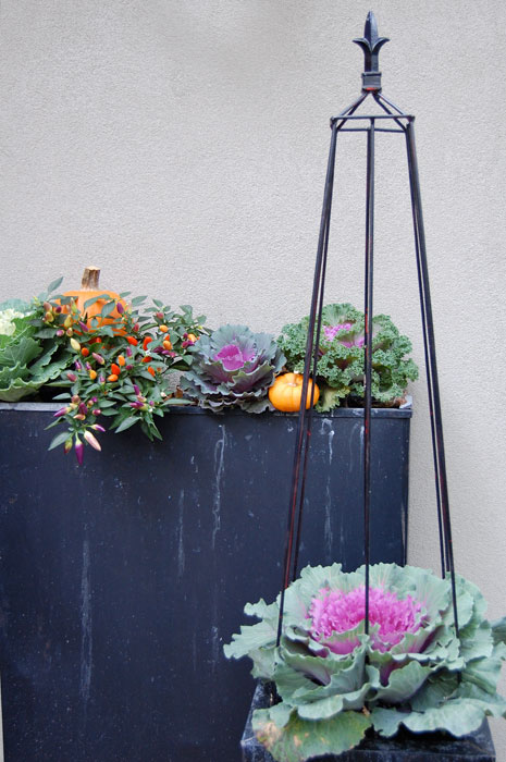 fall-cabbages-in-planters