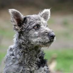 Mudi (.e.e.e.) Tags: portrait dog hungary mf manualfocus micro43 microfourthirds hungarianmudi jupiter11lens4135 panasoniclumixg3 homemadecontaxkievmicrofourthirdsadapter