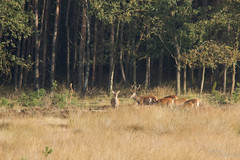 (P Pepping) Tags: wild mist reddeer veluwe brons bronstijd edelherten