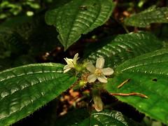 2012-06-29 17-42-08 - DSC01587 (Hesperia2007) Tags: white plant flower leaf flora botany papuanewguinea habitat tropics oceania melastomataceae melastome