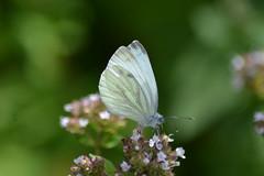 Butterfly (hcorper) Tags: hbw butterfly bokeh insekt outdoor nikond3100