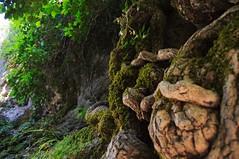 Nudos musgosos (TrustyOldGear) Tags: cuenca ciudadencantada naturaleza musgo nudos troncos detalle rbol enredadera