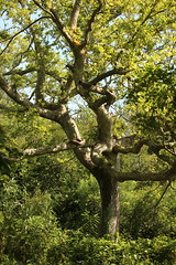 Twisted (Salamanderdance) Tags: delaware dewey beach burton island tree twisted bark
