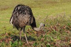 Ema / Greater Rhea (anacm.silva) Tags: ema greaterrhea ave bird wild wildlife nature natureza naturaleza aves birds pantanal brasil brazil rheaamericana