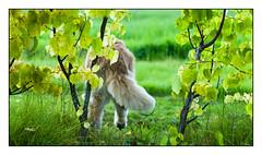 34/52 Nick & Fields of Green (Eline Lyng) Tags: dog golden retriever goldenretriever canine leaves grass field bush countryside bokeh dof leica leicasl summilux50mmasphf14 52weeksfordogs manualfocus littledoglaughedstories