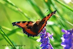 Papillon orange/noir (PhotOw'graphie) Tags: papillon insecte nature faune sauvage miniature petit beau extrieur t soleil soir naturel libert libre