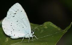 Boomblauwtje_Celastrina_argiolus_mannetje (bdeclerc) Tags: macro vlinders butterflies lepidoptera