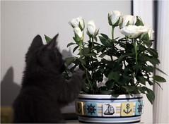 IMG_2541 (murkla_la) Tags: cat russianblue moussie gray graycat