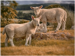 Girls day out on Arran :-) (Unni Henning - busy with family visiting :-)) Tags: lamb closeup sheep arran summer playful wool scotland posing