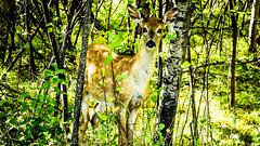 Assiniboine Park - September 14, 2016 15-41-19 (DerboPhoto) Tags: assiniboinepark deer doe beautiful 204 winnipeg manitoba canada derbophoto forest