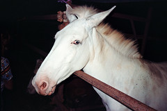 Giocondo (Marcello Iannotta) Tags: nikon photography 35mm film documentary filmsnotdead kodakcolorplus 200iso horse night believeinfilms