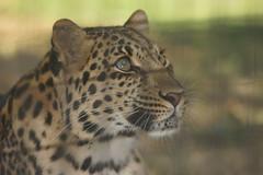 056_Great Cats Park_Leopard (steveAK) Tags: greatcatsworldpark leopard
