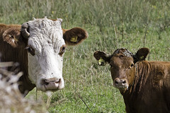 Being Close To Your Mother Is One Thing.... (me'nthedogs) Tags: cow calf westhay somerset levels