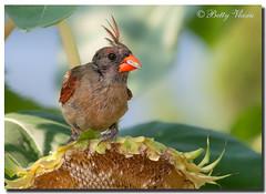 Northern Cardinal - Female (Betty Vlasiu) Tags: northern cardinal female bird nature wildlife cardinalis