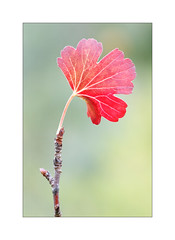 One of A Kind - Currant Leaf in A Baby Tree (The Visioneer) Tags: leaf red currantleaf fall autumn nature artistic colours plant serene