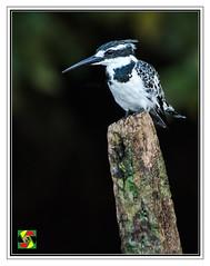 Pied Kingfisher (Crested Aperture Photography) Tags: piedkingfisher cerylerudis jinja uganda ug bird birds uccello pssaro vogel eastafrica crestedaperturephotography greatnature crestedaperture animalplanet