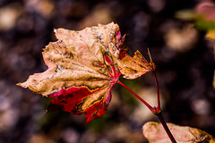 Fall's waiting. (Omygodtom) Tags: season abstract autumn leaves contrast composition colorful compost nature natural nikon d7100 art outdoors oregon macro macromonday tamron90mm texture dof digital diamond bokeh