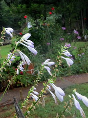 This too shall pass. (Mulch Obliged) Tags: hosta hibiscus cleome