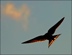 Going Home. (McRusty) Tags: setting sun swallow backlight back light translucent translucence blue sky fluffy cloud dell estate stratherrick highland scotland wild outdoor migratory migration bird tail