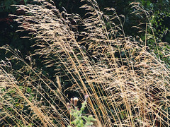 bending in the breeze (mark.griffin52) Tags: olympusem5 england buckinghamshire slapton countryside nature smoothmeadowgrass grass
