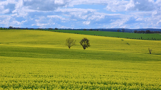 Canola Crop, New South Wales