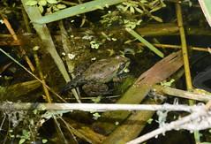 Marsh Froglet (Pelophylax ridibundus) (willjatkins) Tags: frog frogs froglet metamorphosis metamorph marshfrog pelophylaxridibundus pelophylax amphibians frogsofeurope ukwildlife ukamphibiansandreptiles ukreptilesandamphibians ukherpetofauna ukamphibians ukfrogs britishwildlife britishamphibiansandreptiles britishreptilesandamphibians britishamphibians britishfrogs londonwildlife essexwildlife londonamphibians essexamphibians rainhammarshes rspbrainham nonnativespecies nonnativewildlife nonnativeamphibians nikond7100