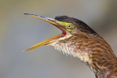 Green Heron (bmse) Tags: green heron portrait face beak bill open canon 7d2 400mm f56 l bmse salah baazizi wingsinmotion