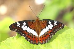 The comander (scubahenlik) Tags: butterfly thailand nakhonsawan kongkien nymphalidae sommerfugl insect nature
