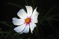 Cosmos (Brian 104) Tags: flower cosmos white onblack fracblend