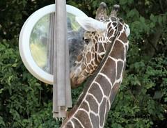 Well, Hello you handsome devil! (beachkat1) Tags: giraffe abu atlanta zoo mirror reflection