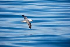 Bird in Flight (Aerindad) Tags: svalbard ocean fulmer arctic sea bird seascape
